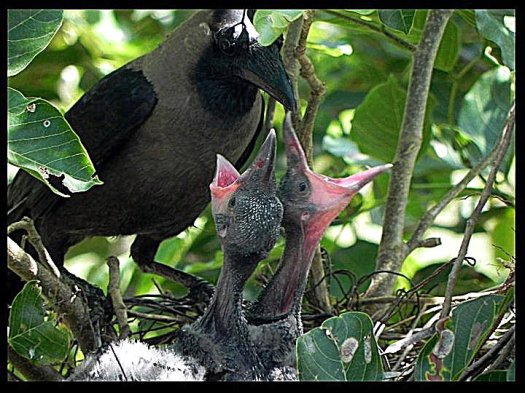 House_Crow_feeding_chicks