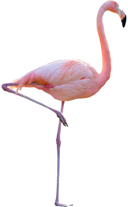 flamingo-on-one-leg