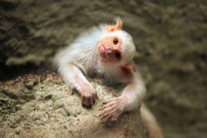 Silvery-marmoset-6